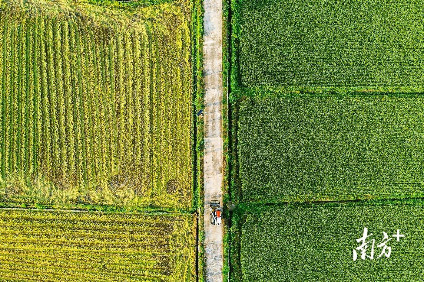 7月3日,广州增城,夏稻丰收,十里飘香。刘晶 摄