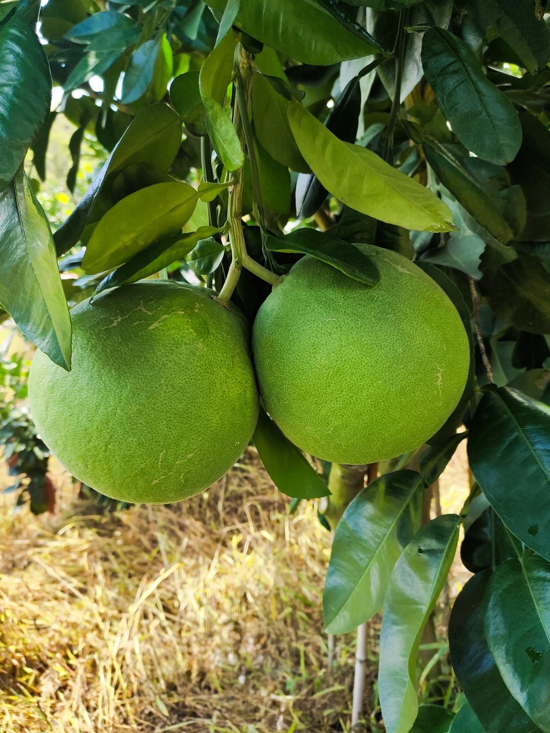 紅寶石青柚。(來源:惠城區農技中心)