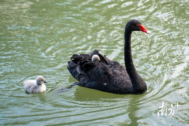 10月4日,珠海斗门井岸霞山公园碧水如画,一只天鹅宝宝从大天鹅的羽翼下探出脑袋。沙滩上的咸鱼 摄