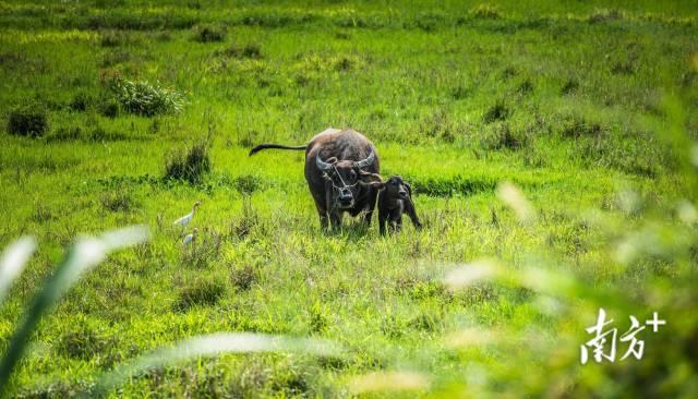 珠海新村,小水牛与牛背鹭相互为伴。 初见 摄