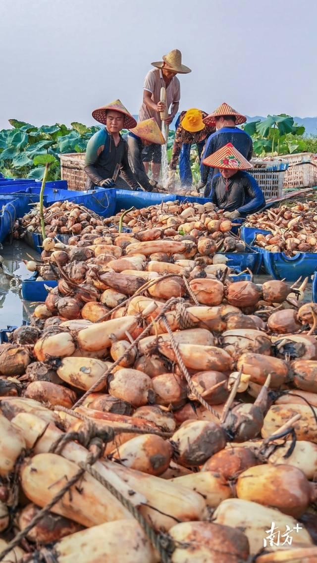 9月29日,江门台山市斗山镇,藕农忙着采收莲藕供应节日市场。秋歌 摄